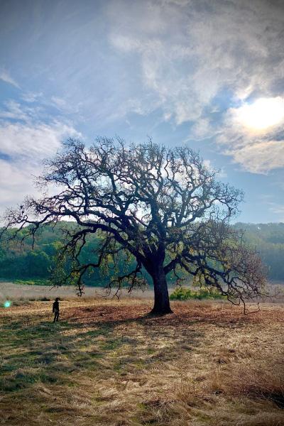 A-California-coast-live-oak-in-a-fire-adapted-grassland-ecosystem-400x600