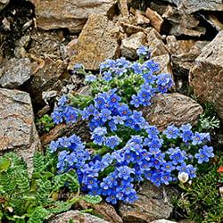Alpine-Forget-Me-Nots-Colorado-Wildflower