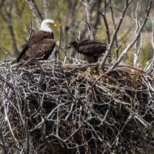 Bald-Eagle-Nests-Rick-Spitzer-300x300