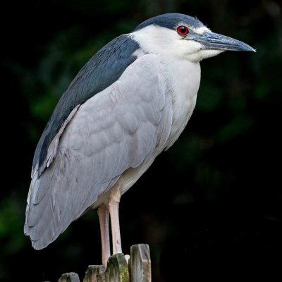 Black-Crowned-Night-Heron-400x400