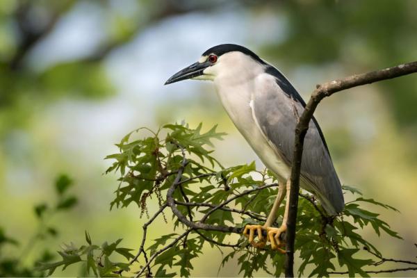 Black-Crowned-Night-Heron-on-branch-600x400