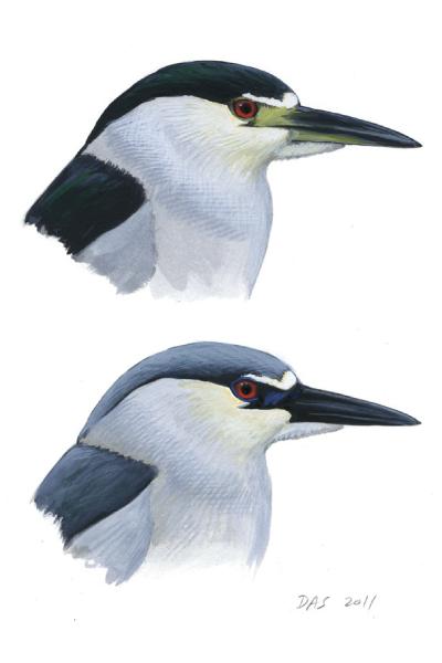Black-Crowned-Night-Heron-sketch-guide-400x600