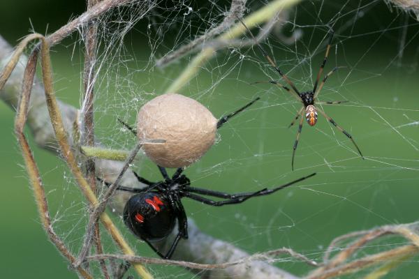 Black-Widow-Spider-Family---Female,-Male,-Egg-sac-600x400