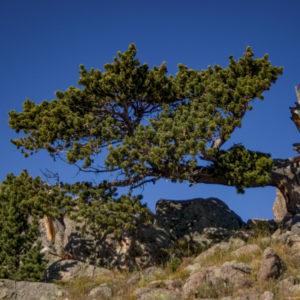 Bristle Cone Pine Tree Rick Spitzer-1