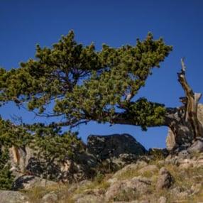 Bristle-Cone-Pine-Rick-Spitzer-300x300