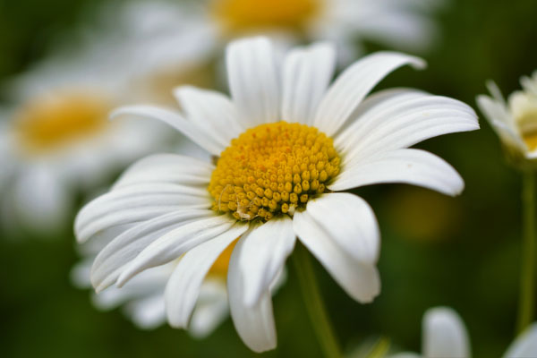 Close-up image of an Oxeye Daisy_600x400
