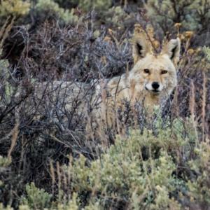 Colorado-Coyote-Rick-Spitzer-300x300