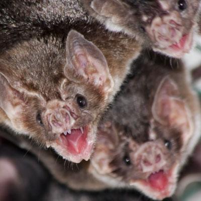 Common vampire bat_400x400