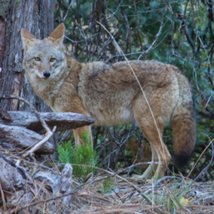 The Coyote in Native American Tales
