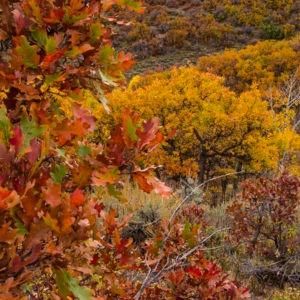 Gambel Oak Scrub Oak Fall Colors Colorado