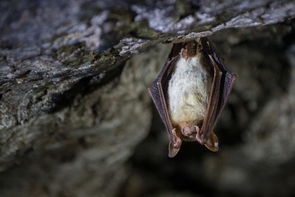 Greater mouse-eared bat_600x400