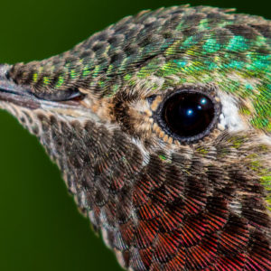 Hummingbird Eye