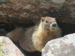 Marmot on Vail Backcountry Hike