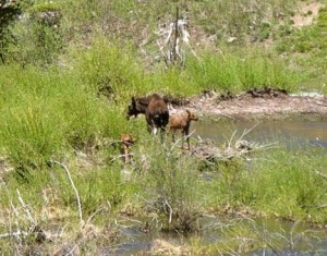 moose with babies in Minturn, CO