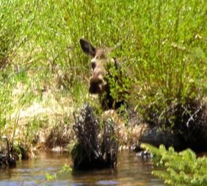Moose, Minturn CO