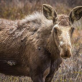 Moose Ticks parasites in Colorado