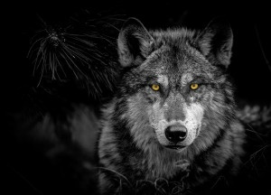 Myths about Wolves in Colorado