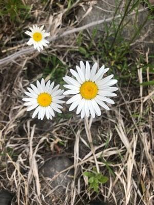 Oxeye daisy2