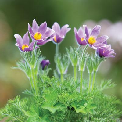 Pasque Flower in Colorado