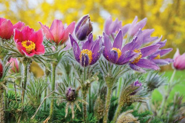 Pasque-Flower_600x400
