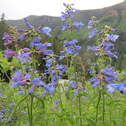 Penstemon-Penstemon-sp._Wildflower-Vail-Colorado-Walking-Mountains-Science-Center