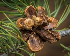 Pinyon-Pine-Cone-For-Pine-Nuts-Colorado-300x240