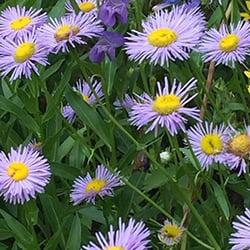 Purple---Showy-Fleabane-Daisy