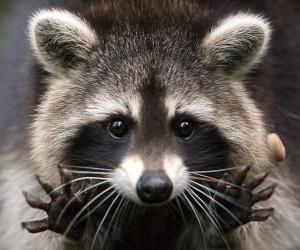 Raccoons Cute Little Critters
