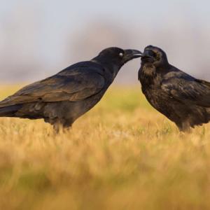 Ravens_400x400