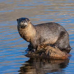 River Otters in Colorado