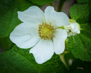 Rocky Mountain ThimbleBerry Colorado Edible Plant