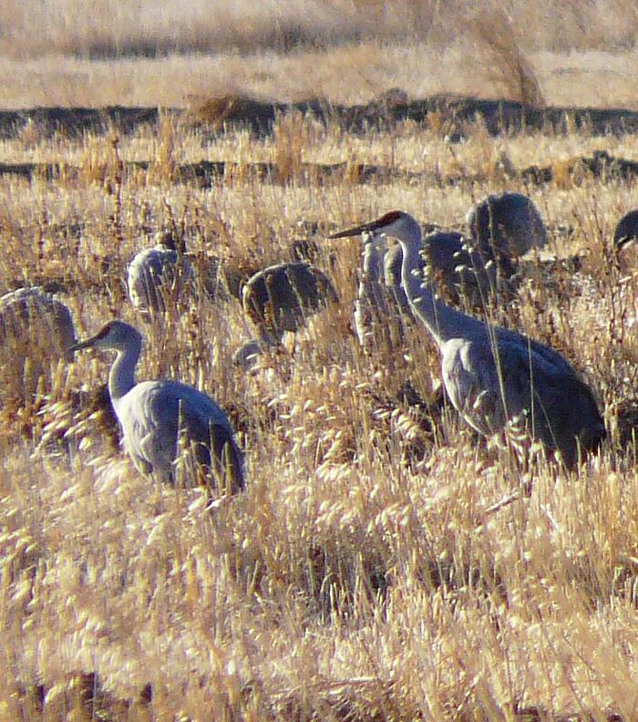 SandHill Cranes Colorado bigandlittle2