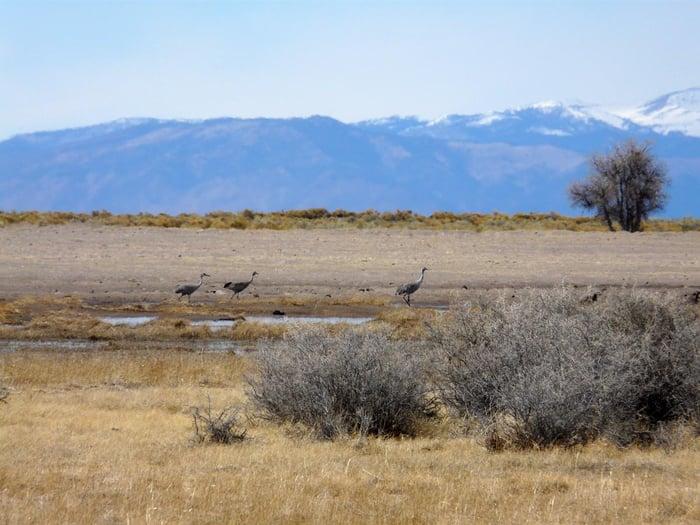 SandHill Cranes Colorado cranes1