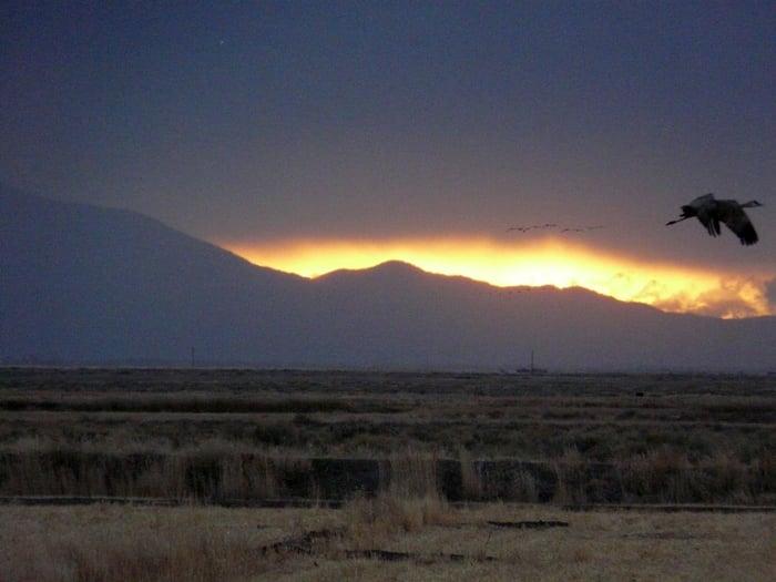 SandHill Cranes in Flight Colorado craneinflight1