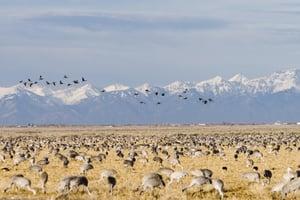 Sandhill Crane Migration Colorado