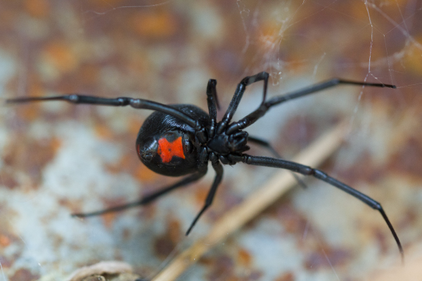 Species Latrodectus mactans. Black widow spider 600x400