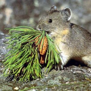 The Pika in The Colorado Rocky Mountains and Vail Valley