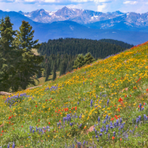 Vail Colorado Wildflower Viewing