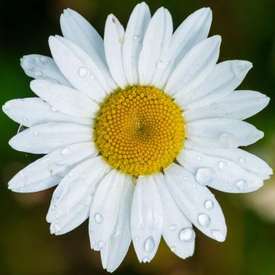 White Oxeye Daisy closeup_400x400