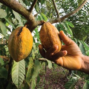 cacao-plant