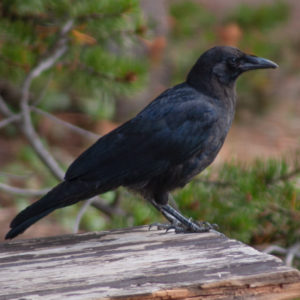 crow rick spitzer