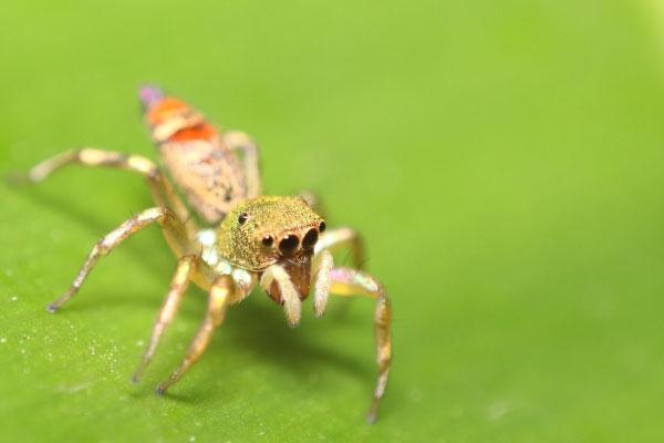 jumping spider closeup 600x400
