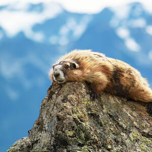 marmot-400x400-