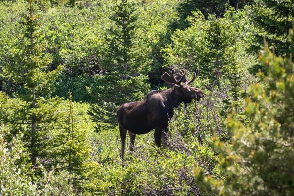 moose-2-600x400