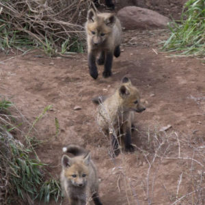 mothers day foxes and cubs