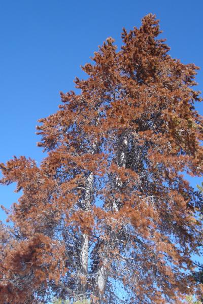 pine_beetle_400x600
