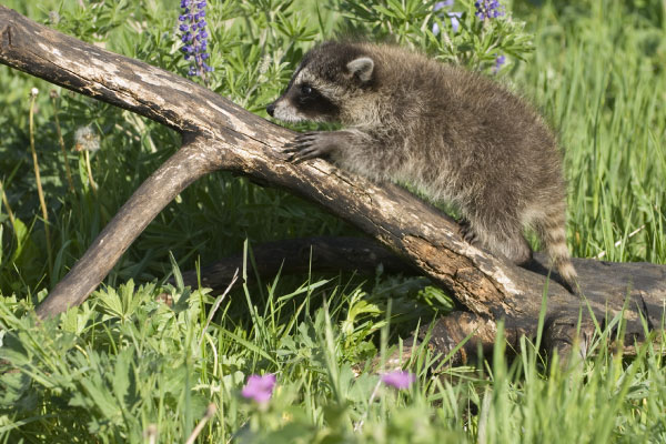 racoons_600x400_1