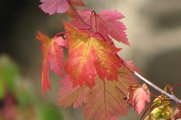 red-leaf-600x400