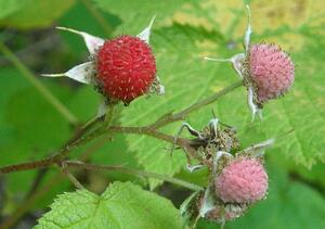 thimbleberry edible berry colorado