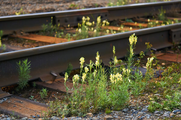wild toadflax flowers grew between the sleepers on the railroad tracks_600x400
